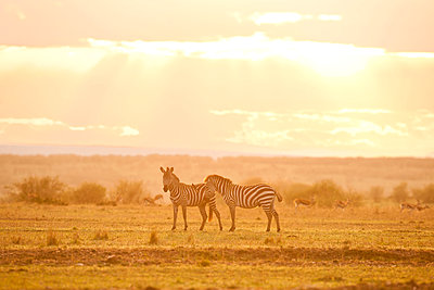 Two zebras in the savannah - p533m1225536 by Böhm Monika