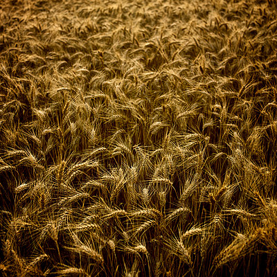 Close-up of ears of barley - p813m924523 by B.Jaubert