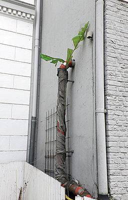 Begrünung eines Fallrohrs - p116m1219346 von Gianna Schade