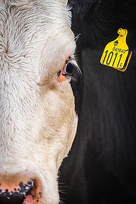Schwarz-weiße Kuh mit Ohrmarke - p1418m1571772 von Jan Håkan Dahlström