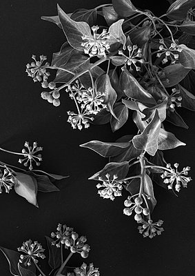 Plant with berries - p1629m2211363 by martinameier