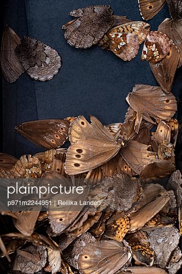 Dead butterflies - p971m2244951 by Reilika Landen