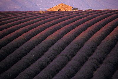 Lavendelfelder in der Provence - p1468m1527652 von Philippe Leroux