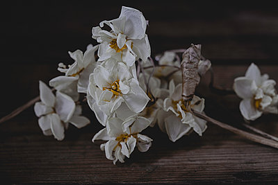 Dried Narcissus Paperwhites on old table - p1470m1561982 by julie davenport