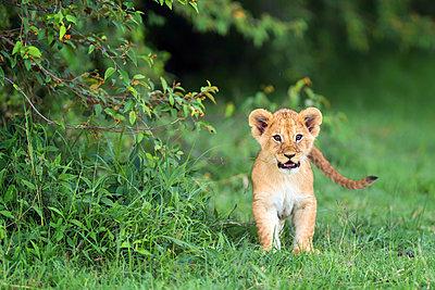 Lion cub, Masai Mara, Kenya, East Africa, Africa - p871m1533925 by Karen Deakin