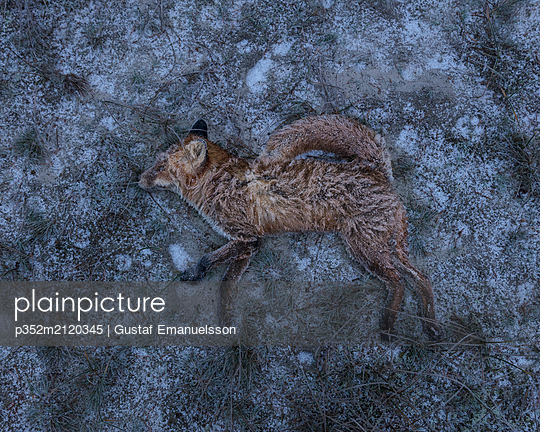 Dead fox on snow - p352m2120345 by Gustaf Emanuelsson