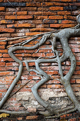 Wurzeln in einer Backsteinmauer - p1032m1220654 von Fuercho