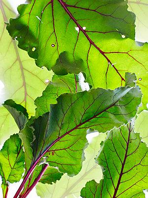 Still life of beetroot leaves, overhead view - p429m1578610 by BRETT STEVENS