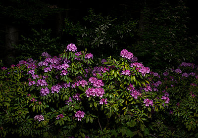 rhododendron at night - p1132m1591248 by Mischa Keijser