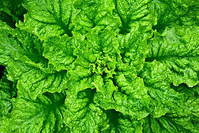 Leaf lettuce - p1501m2071098 by Alexander Sommer