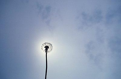 Pusteblume mit Himmel - p2370098 von Thordis Rüggeberg