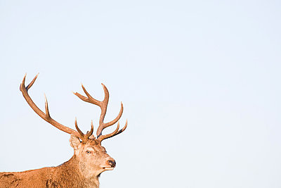 Red deer stag - p9243666f by Image Source