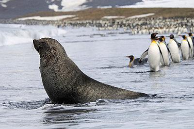 An Antarctic fur seal, Arctocephalus gazella, on the seashore, and a group of King penguins, Aptenodytes patagonicus walking in single file.  - p1100m876763f by David Schultz