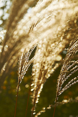 Plant of miscanthus sinensis in autumn - p1540m2141280 by Marie Tercafs