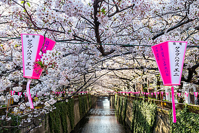Meguro River during cherry blossom time, Tokyo, Japan - p871m2113616 by Jordan Banks