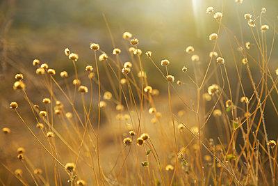 Golden Weeds - p1106m1592098 by Angela DeCenzo