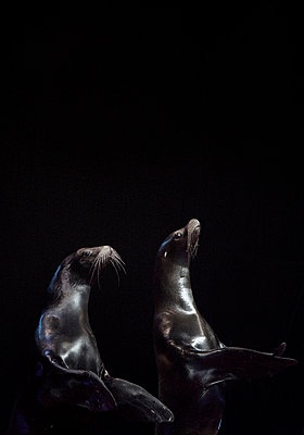 Two seals against black background - p1385m1424411 by Beatrice Jansen