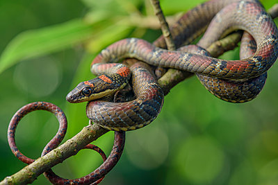 Twin-barred Tree Snake  juvenile, Malaysia - p884m1145326 by Ch'ien C. Lee