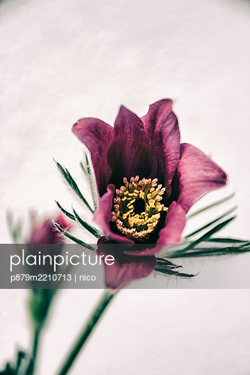 Pasqueflower, close-up - p879m2210713 by nico