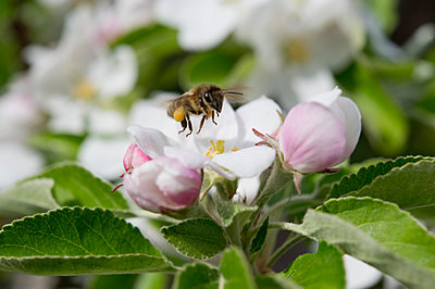 Bee on an apple blossom, Bavaria, Germany - p300m2102804 by Claudia Rehm