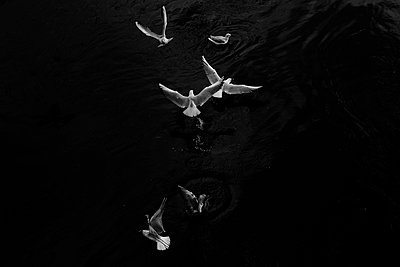 Seagulls flying over water - p910m1467703 by Philippe Lesprit