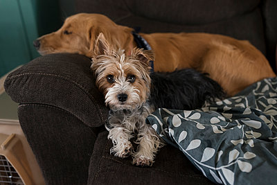 Portrait of Yorkshire Terrier by sleeping dog on sofa at home - p1166m1543121 by Cavan Images