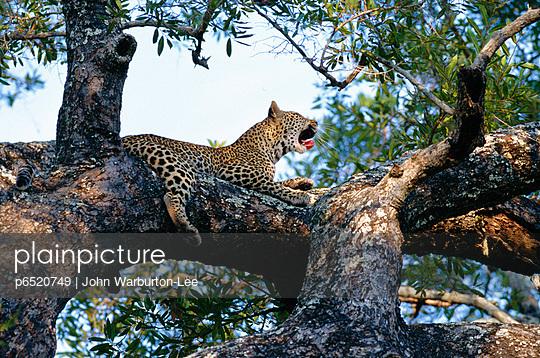 Leopard - p6520749 by John Warburton-Lee