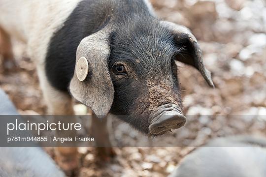 Ferkel - p781m944855 von Angela Franke