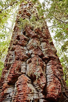 Chile, Los Sauces, Nahuelbuta National Park, Alercen tree - p300m2069453 by Stefan Schütz