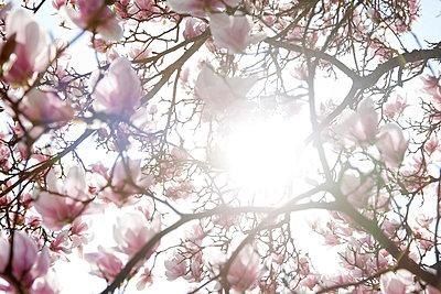 Magnolie - p4350148 von Stefanie Grewel