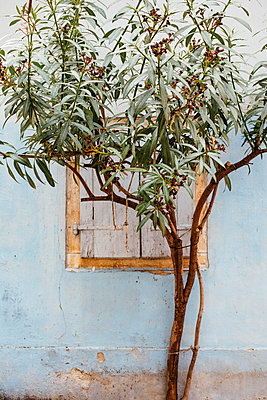 Olive tree in front of a blue coloured house wall - p728m2027242 by Peter Nitsch