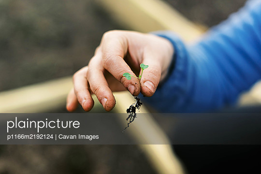 A broccoli seedling with root system held by dirty working hands. - p1166m2192124 by Cavan Images