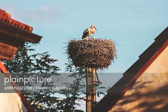 Nachwuchs bei den Störchen in Vissum bei Arendsee - p986m2227398 von Friedrich Kayser