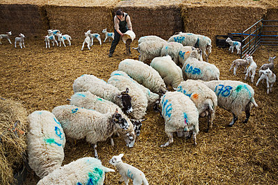 Flock of sheep and newborn lambs with blue numbers painted onto their sides standing in a stable on straw. - p1100m1450915 by Mint Images