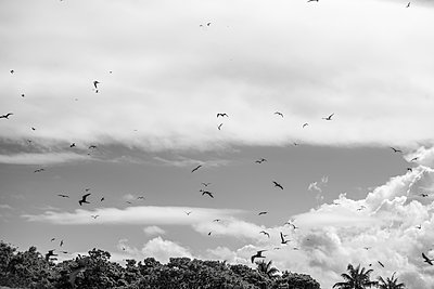 Polynesia, Birds flying above trees - p1487m2253939 by Ludovic Mornand