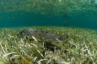 American crocodile  in clear waters of Caribbean,  Chinchorro Banks , Quintana Roo, Mexico - p429m1021874f by Rodrigo Friscione