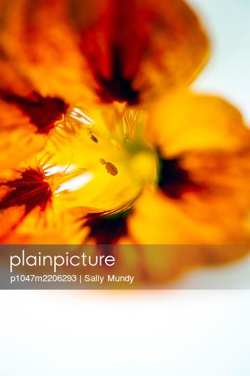 Macro close-up of orange nasturtium flower on white background - p1047m2206293 by Sally Mundy