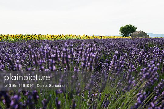 Lavendelfeld und Sonnenblumen, bei Valensole, Plateau de Valensole, Alpes-de-Haute-Provence, Provence, Frankreich - p1316m1161016 von Daniel Schoenen