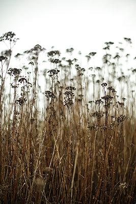 Yarrow in the meadow - p1643m2229402 by janice mersiovsky