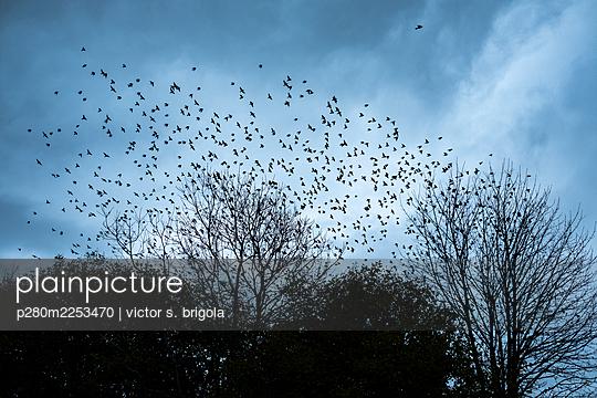 Swarm of Birds - p280m2253470 by victor s. brigola