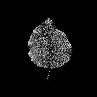 Fresh leaf isolated on black background. Black and white photography - p1166m2113145 by Cavan Images