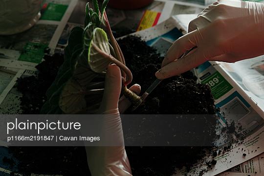 Crop person replanting green stem in soil - p1166m2191847 by Cavan Images