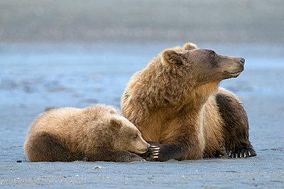 Grizzly Bear  mother with cub, Katmai National Park, Alaska - p884m1141155 by Rob Reijnen / NiS