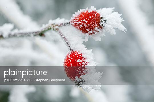 Rauhreif auf Hagebutten - p1057m2291530 von Stephen Shepherd