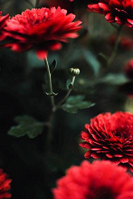 Closeup on red chrysanthemum flowers - p1166m2095257 by Cavan Images