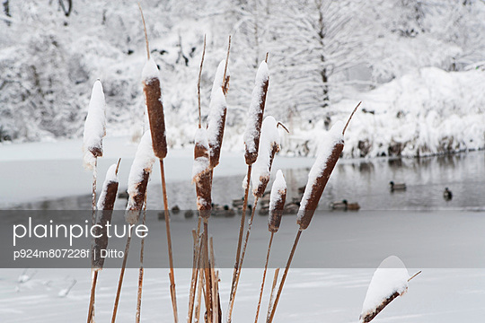 Close up of snowy reeds - p924m807228f by Ditto