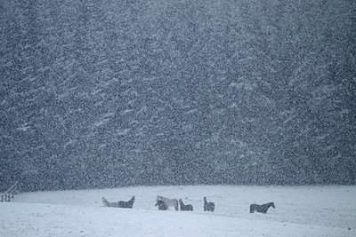 Horses during heavy snowfall - p1016m1539470 by Jochen Knobloch