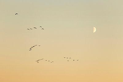 Kraniche am Abendhimmel - p745m891644 von Reto Puppetti