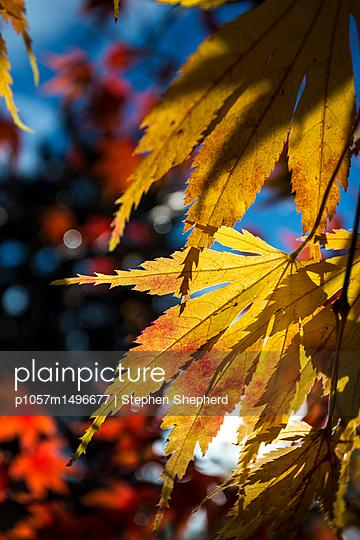 Herbstblätter im Sonnenschein - p1057m1496677 von Stephen Shepherd