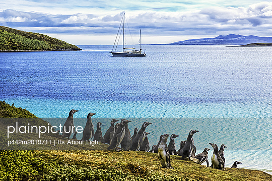 Magellanic penguins (Spheniscus magellanicus) on the shore of West Point Island; West Point Island, Falkland Islands - p442m2019711 by Its About Light